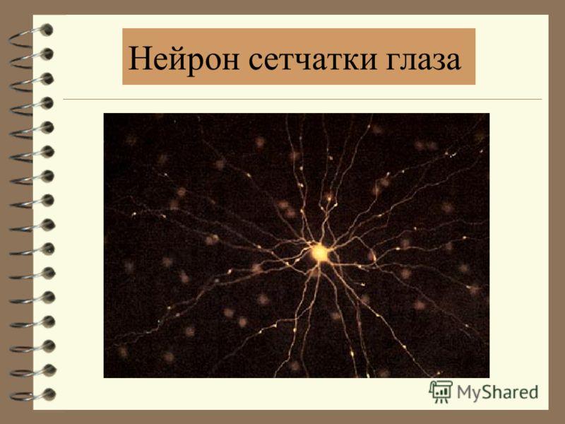 Артерии Вены Слепое пятно Желтое пятно Центральная ямка Световоспринимающая система