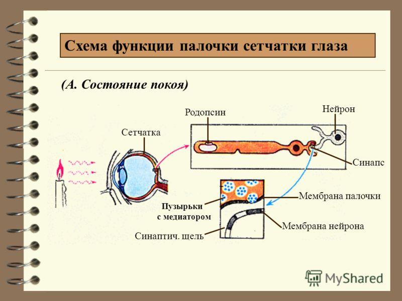 Палочки (120 млн.) -воспринимают форму (зрение при слабом освещении) Колбочки (7млн.) -воспринимают цвет (цветное зрение) Фоторецепторы
