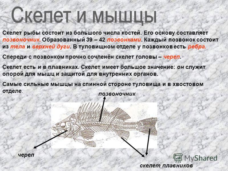 Скелет рыбы состоит из большого числа костей. Его основу составляет позвоночник. Образованный 39 – 42 позвонками. Каждый позвонок состоит из тела и верхней дуги. В туловищном отделе у позвонков есть ребра. Спереди с позвонком прочно сочленён скелет г