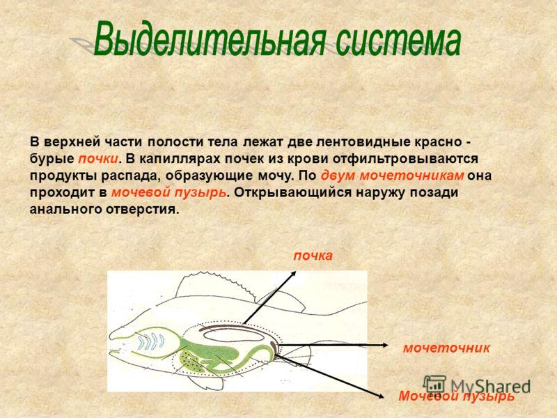 В верхней части полости тела лежат две лентовидные красно - бурые почки. В капиллярах почек из крови отфильтровываются продукты распада, образующие мочу. По двум мочеточникам она проходит в мочевой пузырь. Открывающийся наружу позади анального отверс