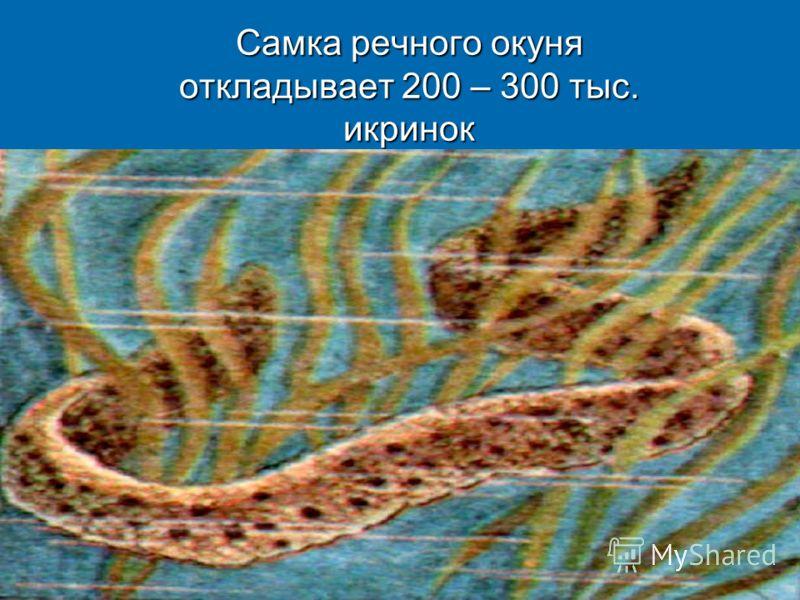 Самка речного окуня откладывает 200 – 300 тыс. икринок