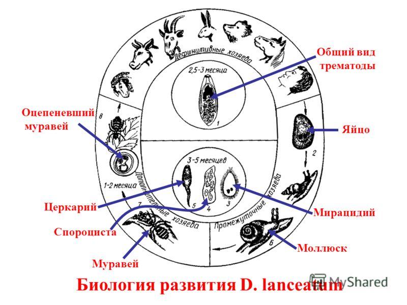 Биология развития D. lanceatum Общий вид трематоды Яйцо Мирацидий Спороциста Муравей Оцепеневший муравей Моллюск Церкарий