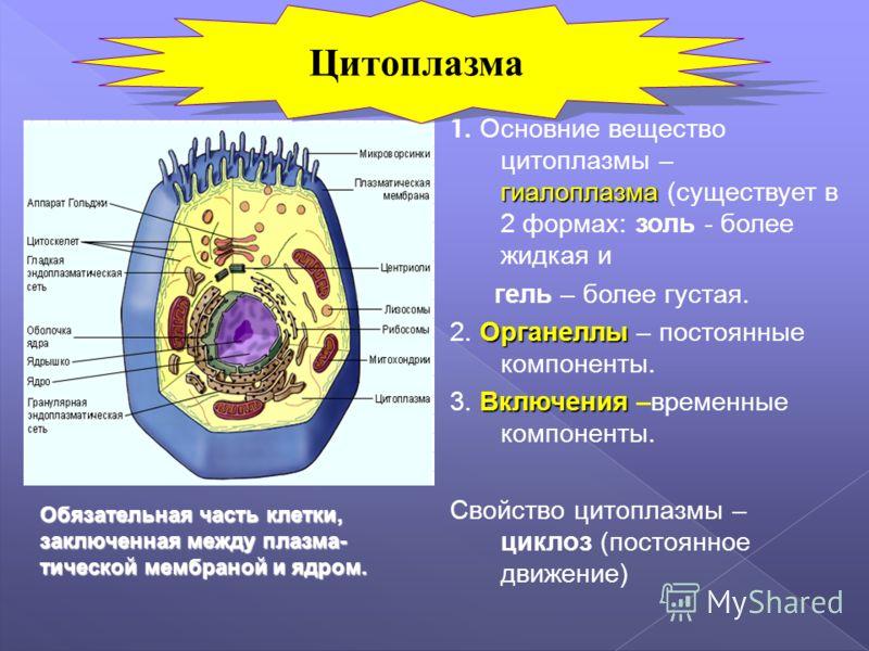 гиалоплазма 1. Основние вещество цитоплазмы – гиалоплазма (существует в 2 формах: золь - более жидкая и гель – более густая. Органеллы 2. Органеллы – постоянные компоненты. Включения 3. Включения –временные компоненты. Свойство цитоплазмы – циклоз (п