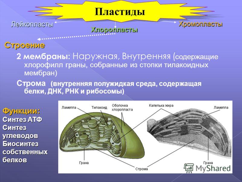Строение 2 мембраны: Наружная, Внутренняя ( содержащие хлорофилл граны, собранные из стопки тилакоидных мембран) Строма (внутренняя полужидкая среда, содержащая белки, ДНК, РНК и рибосомы) Лейкопласты Хромопласты Хлоропласты Функции: Синтез АТФ Синте