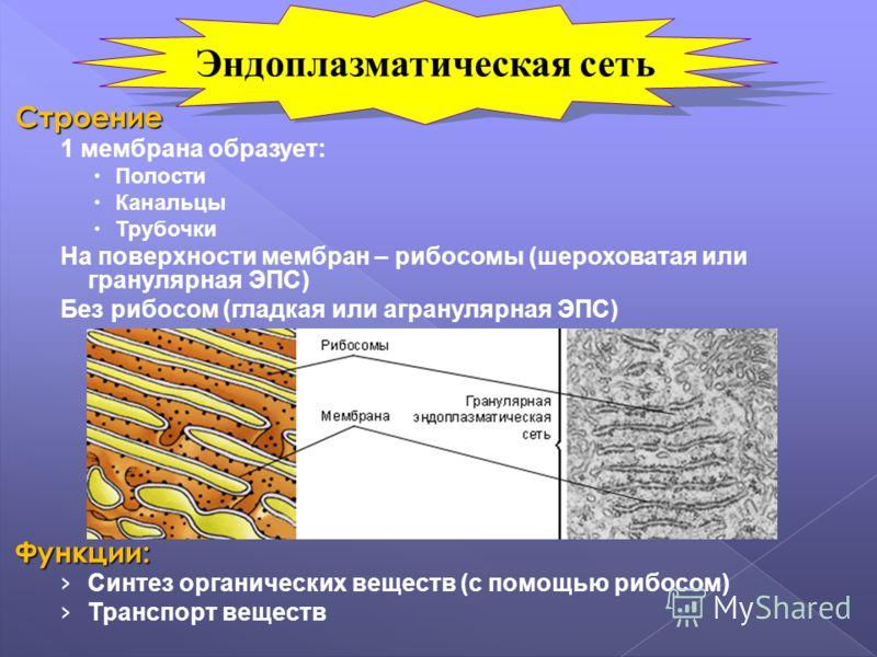Строение 1 мембрана образует: Полости Канальцы Трубочки На поверхности мембран – рибосомы (шероховатая или гранулярная ЭПС) Без рибосом (гладкая или агранулярная ЭПС)Функции: Синтез органических веществ (с помощью рибосом) Транспорт веществ Эндоплазм
