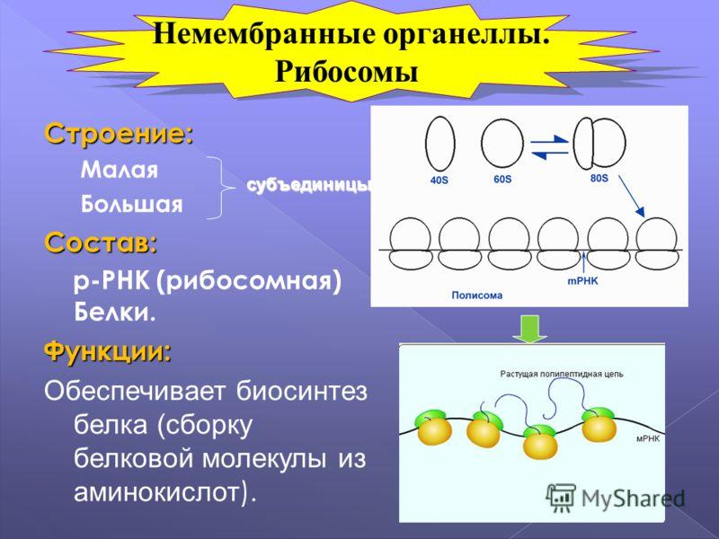 Строение: Малая БольшаяСостав: р-РНК (рибосомная) Белки.Функции: Обеспечивает биосинтез белка (сборку белковой молекулы из аминокислот ). субъединицы Немембранные органеллы. Рибосомы