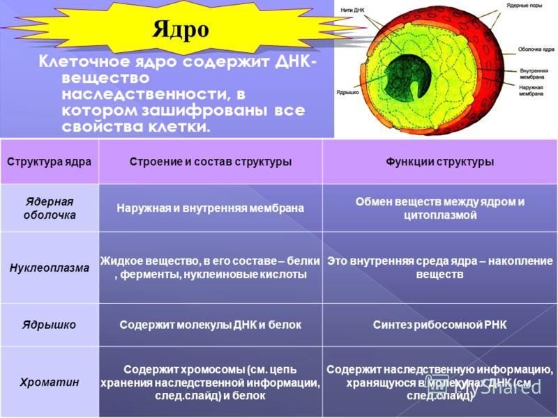 Клеточное ядро содержит ДНК- вещество наследственности, в котором зашифрованы все свойства клетки. Структура ядраСтроение и состав структурыФункции структуры Ядерная оболочка Наружная и внутренняя мембрана Обмен веществ между ядром и цитоплазмой Нукл