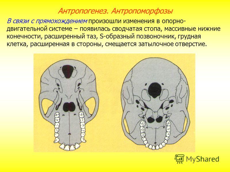 В связи с прямохождением произошли изменения в опорно- двигательной системе – появилась сводчатая стопа, массивные нижние конечности, расширенный таз, S-образный позвоночник, грудная клетка, расширенная в стороны, смещается затылочное отверстие. Антр