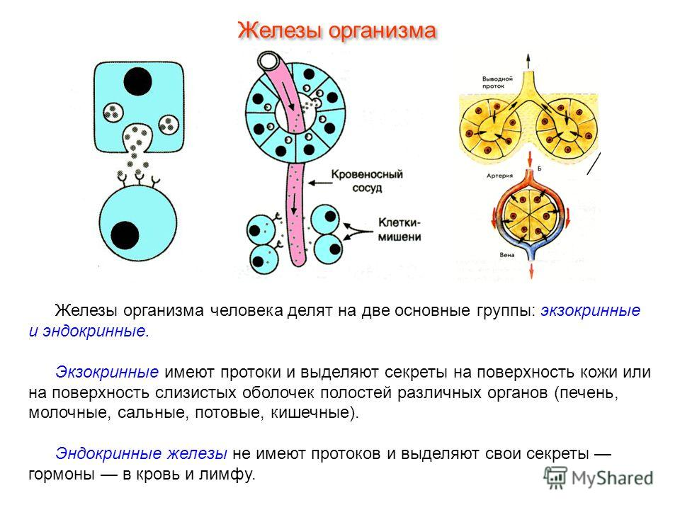 Железы организма человека делят на две основные группы: экзокринные и эндокринные. Экзокринные имеют протоки и выделяют секреты на поверхность кожи или на поверхность слизистых оболочек полостей различных органов (печень, молочные, сальные, потовые,