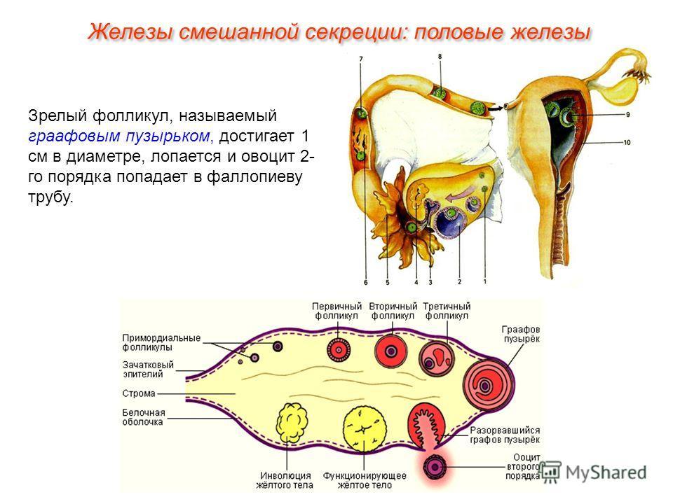 Зрелый фолликул, называемый граафовым пузырьком, достигает 1 см в диаметре, лопается и овоцит 2- го порядка попадает в фаллопиеву трубу. Железы смешанной секреции: половые железы