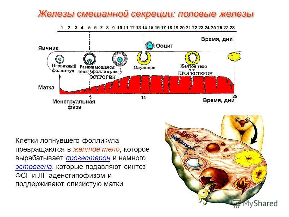 Клетки лопнувшего фолликула превращаются в желтое тело, которое вырабатывает прогестерон и немного эстрогена, которые подавляют синтез ФСГ и ЛГ аденогипофизом и поддерживают слизистую матки. Железы смешанной секреции: половые железы