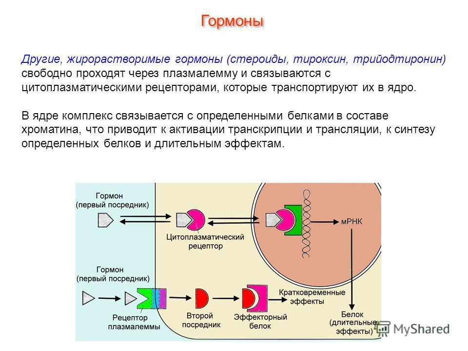 Другие, жирорастворимые гормоны (стероиды, тироксин, трийодтиронин) свободно проходят через плазмалемму и связываются с цитоплазматическими рецепторами, которые транспортируют их в ядро. В ядре комплекс связывается с определенными белками в составе х