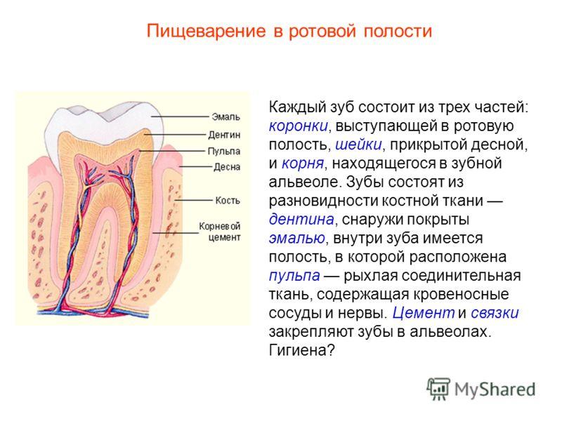 Каждый зуб состоит из трех частей: коронки, выступающей в ротовую полость, шейки, прикрытой десной, и корня, находящегося в зубной альвеоле. Зубы состоят из разновидности костной ткани дентина, снаружи покрыты эмалью, внутри зуба имеется полость, в к
