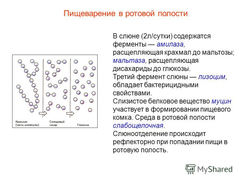 В слюне (2л/сутки) содержатся ферменты амилаза, расщепляющая крахмал до мальтозы; мальтаза, расщепляющая дисахариды до глюкозы. Третий фермент слюны лизоцим, обладает бактерицидными свойствами. Слизистое белковое вещество муцин участвует в формирован