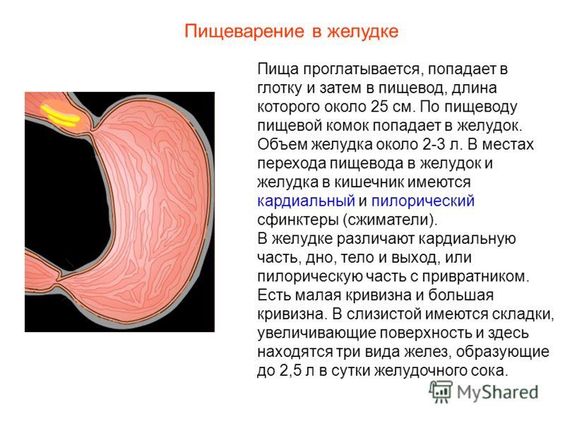 Пища проглатывается, попадает в глотку и затем в пищевод, длина которого около 25 см. По пищеводу пищевой комок попадает в желудок. Объем желудка около 2-3 л. В местах перехода пищевода в желудок и желудка в кишечник имеются кардиальный и пилорически