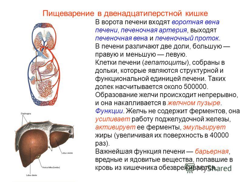 В ворота печени входят воротная вена печени, печеночная артерия, выходят печеночная вена и печеночный проток. В печени различают две доли, большую правую и меньшую левую. Клетки печени (гепатоциты), собраны в дольки, которые являются структурной и фу