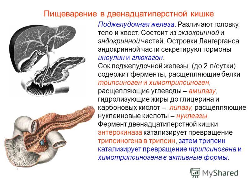 Поджелудочная железа. Различают головку, тело и хвост. Состоит из экзокринной и эндокринной частей. Островки Лангерганса эндокринной части секретируют гормоны инсулин и глюкагон. Сок поджелудочной железы, (до 2 л/сутки) содержит ферменты, расщепляющи