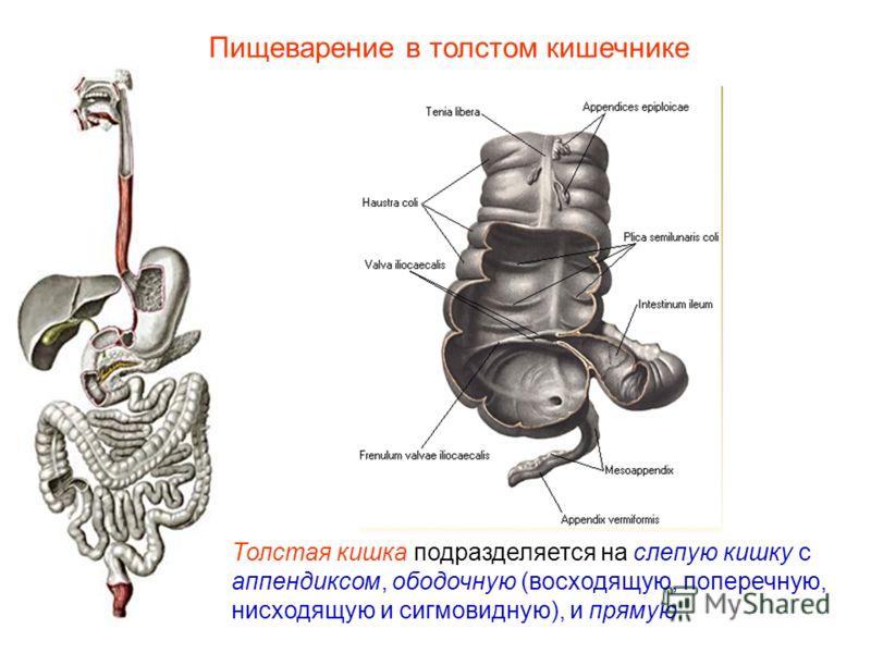 Толстая кишка подразделяется на слепую кишку с аппендиксом, ободочную (восходящую, поперечную, нисходящую и сигмовидную), и прямую. Пищеварение в толстом кишечнике