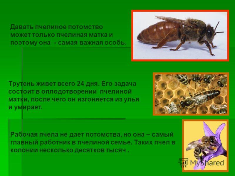 Давать пчелиное потомство может только пчелиная матка и поэтому она - самая важная особь. Трутень живет всего 24 дня. Его задача состоит в оплодотворении пчелиной матки, после чего он изгоняется из улья и умирает. Рабочая пчела не дает потомства, но
