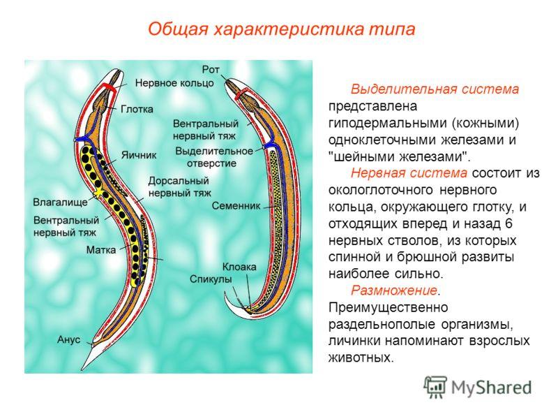 Общая характеристика типа Выделительная система представлена гиподермальными (кожными) одноклеточными железами и