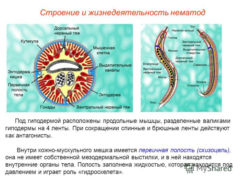 Строение и жизнедеятельность нематод Под гиподермой расположены продольные мышцы, разделенные валиками гиподермы на 4 ленты. При сокращении спинные и брюшные ленты действуют как антагонисты. Внутри кожно-мускульного мешка имеется первичная полость (с