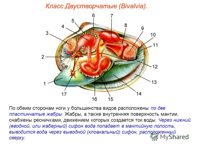 По обеим сторонам ноги у большинства видов расположены по две пластинчатые жабры. Жабры, а также внутренняя поверхность мантии, снабжены ресничками, движением которых создается ток воды. Через нижний (вводной, или жаберный) сифон вода попадает в мант