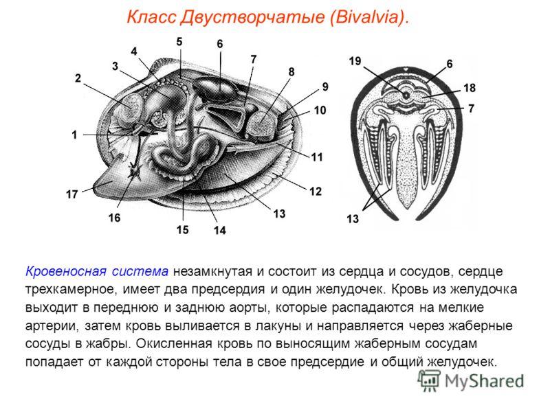 Класс Двустворчатые (Bivalvia). Кровеносная система незамкнутая и состоит из сердца и сосудов, сердце трехкамерное, имеет два предсердия и один желудочек. Кровь из желудочка выходит в переднюю и заднюю аорты, которые распадаются на мелкие артерии, за