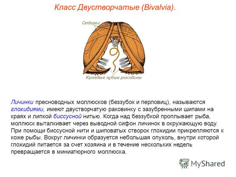 Класс Двустворчатые (Bivalvia). Личинки пресноводных моллюсков (беззубок и перловиц), называются глохидиями, имеют двустворчатую раковинку с зазубренными шипами на краях и липкой биссусной нитью. Когда над беззубкой проплывает рыба, моллюск выталкива