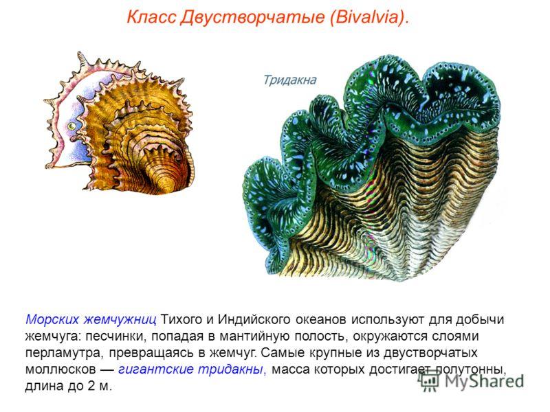 Морских жемчужниц Тихого и Индийского океанов используют для добычи жемчуга: песчинки, попадая в мантийную полость, окружаются слоями перламутра, превращаясь в жемчуг. Самые крупные из двустворчатых моллюсков гигантские тридакны, масса которых достиг