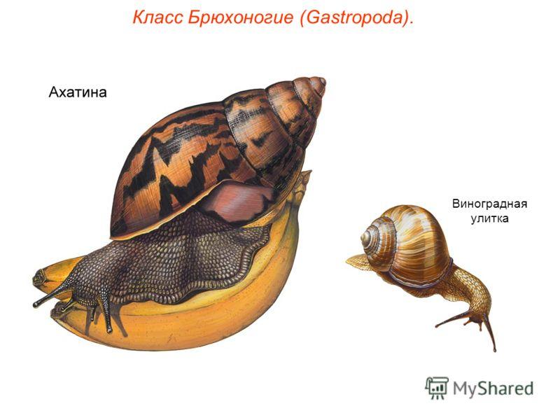 Класс Брюхоногие (Gastropoda). Виноградная улитка