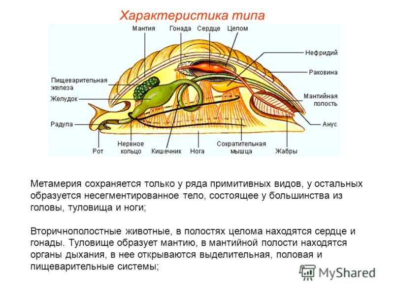 Характеристика типа Метамерия сохраняется только у ряда примитивных видов, у остальных образуется несегментированное тело, состоящее у большинства из головы, туловища и ноги; Вторичнополостные животные, в полостях целома находятся сердце и гонады. Ту
