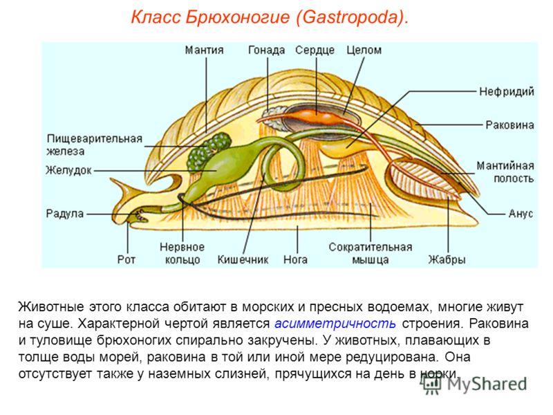 Класс Брюхоногие (Gastropoda). Животные этого класса обитают в морских и пресных водоемах, многие живут на суше. Характерной чертой является асимметричность строения. Раковина и туловище брюхоногих спирально закручены. У животных, плавающих в толще в