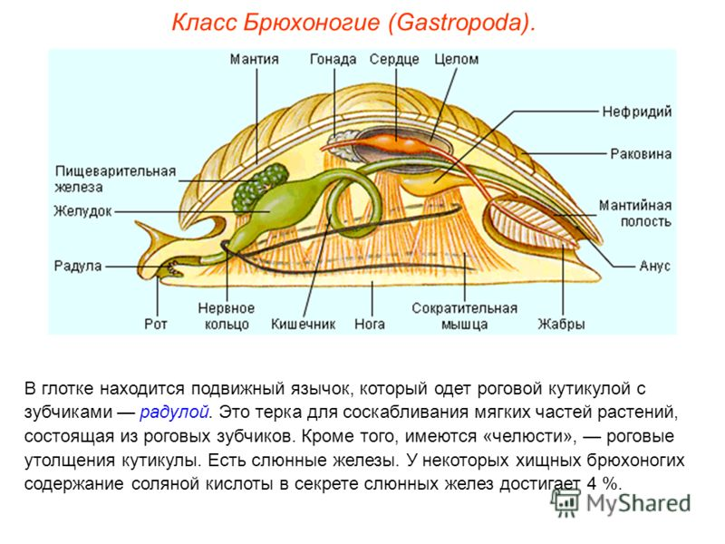 Класс Брюхоногие (Gastropoda). В глотке находится подвижный язычок, который одет роговой кутикулой с зубчиками радулой. Это терка для соскабливания мягких частей растений, состоящая из роговых зубчиков. Кроме того, имеются «челюсти», роговые утолщени