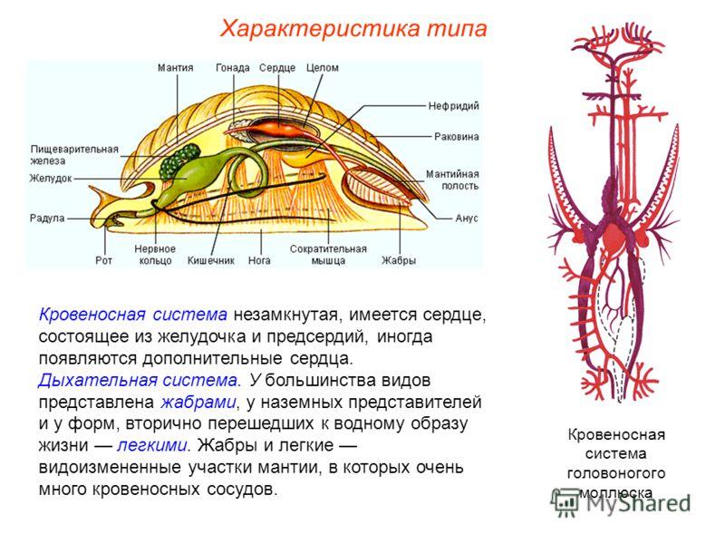 Характеристика типа Кровеносная система незамкнутая, имеется сердце, состоящее из желудочка и предсердий, иногда появляются дополнительные сердца. Дыхательная система. У большинства видов представлена жабрами, у наземных представителей и у форм, втор