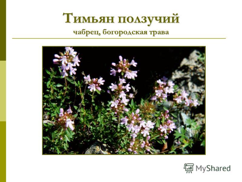 Тимьян ползучий чабрец, богородская трава