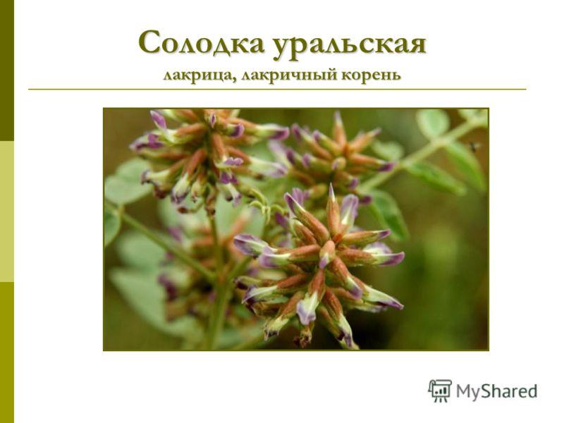 Солодка уральская лакрица, лакричный корень