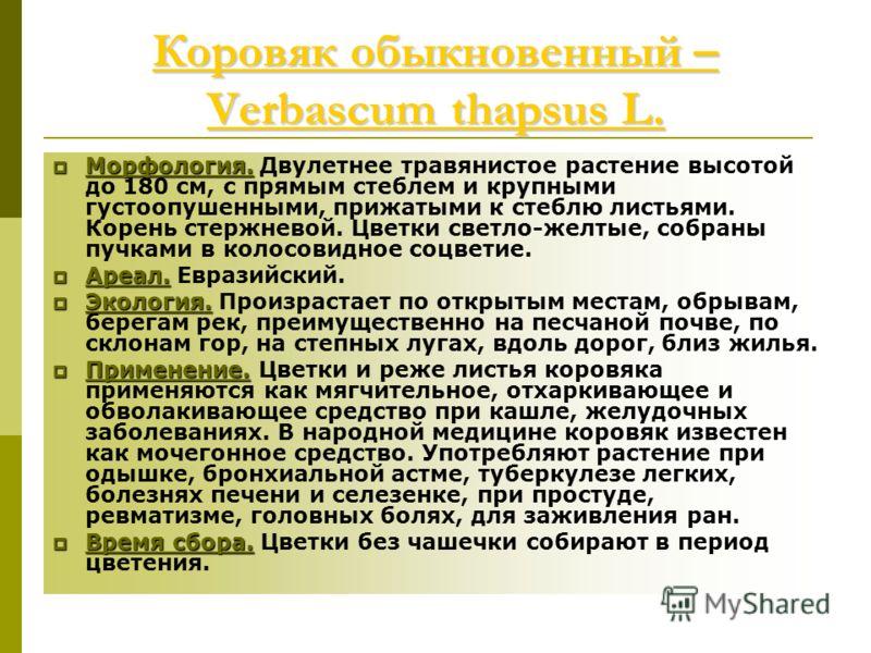 Коровяк обыкновенный – Verbascum thapsus L. Коровяк обыкновенный – Verbascum thapsus L. Морфология. Морфология. Двулетнее травянистое растение высотой до 180 см, с прямым стеблем и крупными густоопушенными, прижатыми к стеблю листьями. Корень стержне