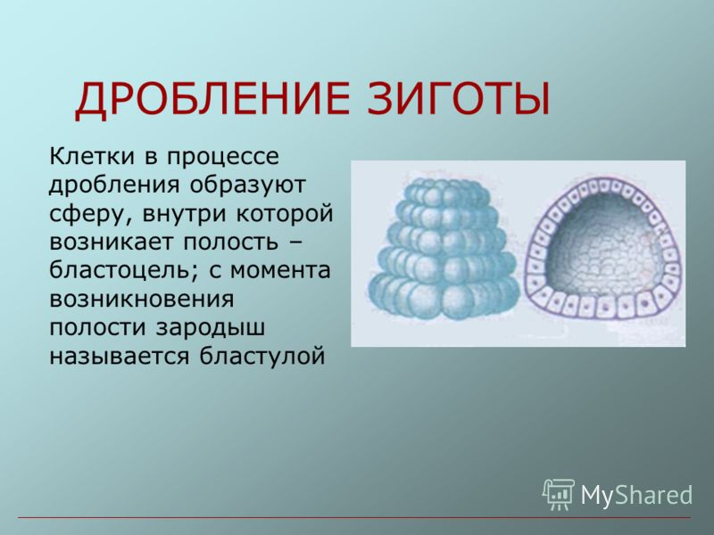 ДРОБЛЕНИЕ ЗИГОТЫ Клетки в процессе дробления образуют сферу, внутри которой возникает полость – бластоцель; с момента возникновения полости зародыш называется бластулой