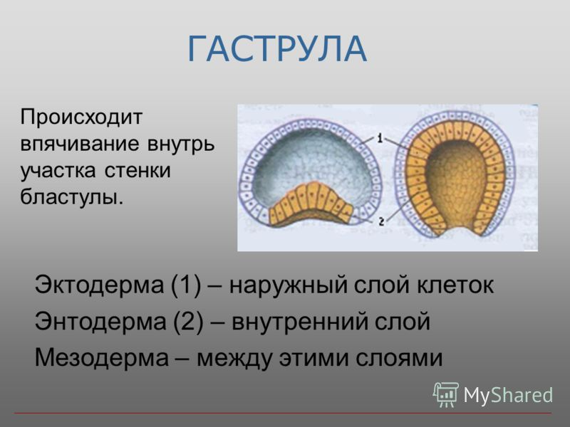 ГАСТРУЛА Происходит впячивание внутрь участка стенки бластулы. Эктодерма (1) – наружный слой клеток Энтодерма (2) – внутренний слой Мезодерма – между этими слоями