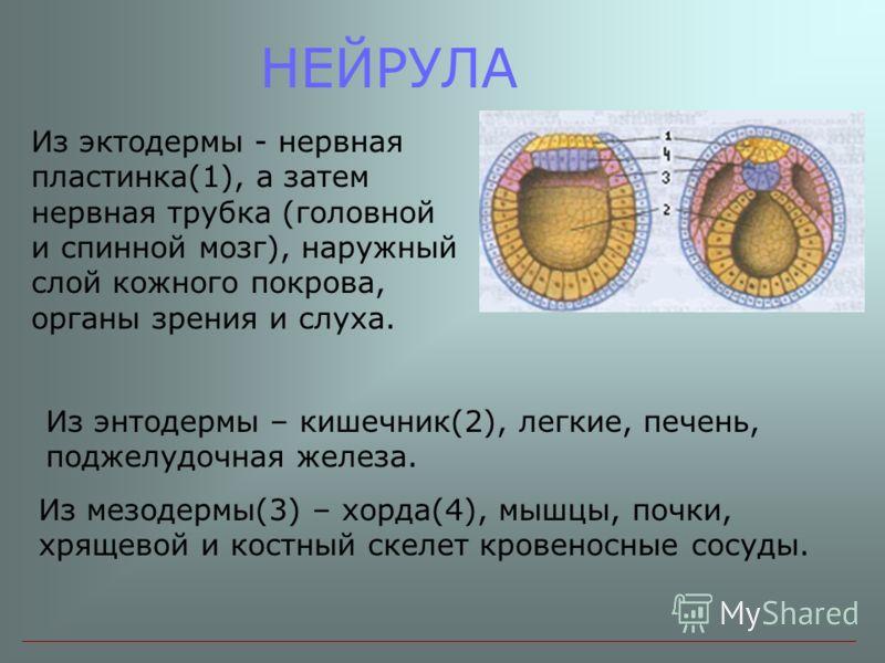 НЕЙРУЛА Из эктодермы - нервная пластинка(1), а затем нервная трубка (головной и спинной мозг), наружный слой кожного покрова, органы зрения и слуха. Из энтодермы – кишечник(2), легкие, печень, поджелудочная железа. Из мезодермы(3) – хорда(4), мышцы,