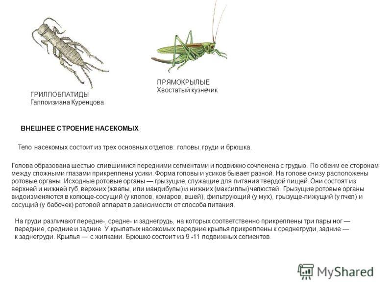 ПРЯМОКРЫЛЫЕ Хвостатый кузнечик ГРИЛЛОБЛАТИДЫ Галлоизиана Куренцова ВНЕШНЕЕ СТРОЕНИЕ НАСЕКОМЫХ Тело насекомых состоит из трех основных отделов: головы, груди и брюшка. Голова образована шестью слившимися передними сегментами и подвижно сочленена с гру