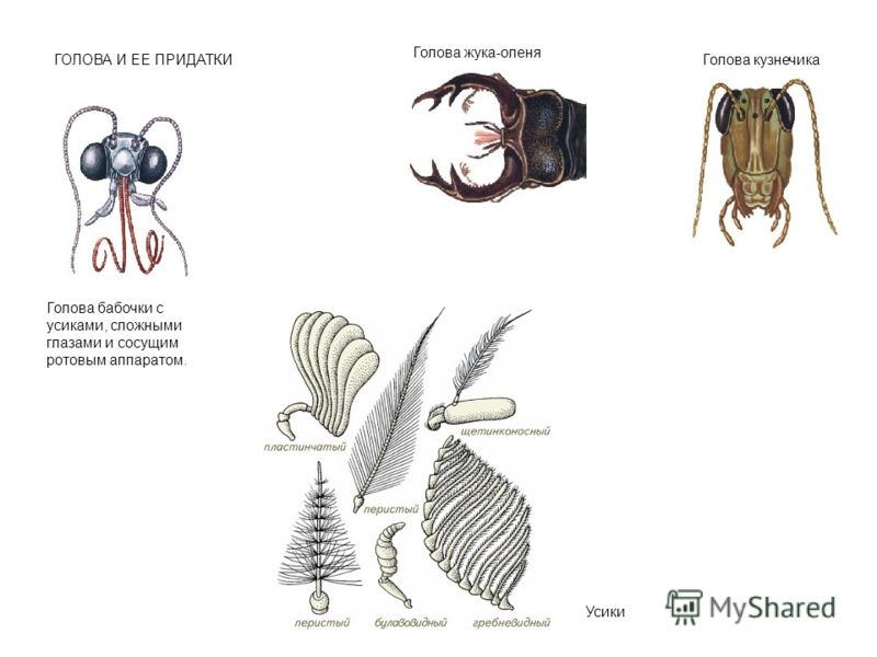 ГОЛОВА И ЕЕ ПРИДАТКИ Голова бабочки с усиками, сложными глазами и сосущим ротовым аппаратом. Голова жука-оленя Голова кузнечика Усики