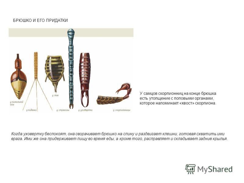 БРЮШКО И ЕГО ПРИДАТКИ У самцов скорпионниц на конце брюшка есть утолщение с половыми органами, которое напоминает «хвост» скорпиона. Когда уховертку беспокоят, она сворачивает брюшко на спину и раздвигает клешни, готовая схватить ими врага. Ими же он