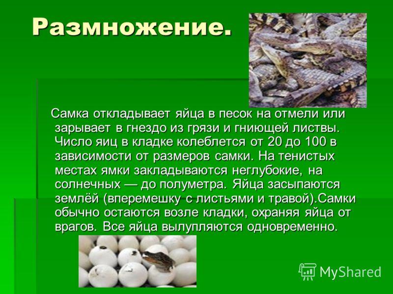 Размножение. Размножение. Самка откладывает яйца в песок на отмели или зарывает в гнездо из грязи и гниющей листвы. Число яиц в кладке колеблется от 20 до 100 в зависимости от размеров самки. На тенистых местах ямки закладываются неглубокие, на солне