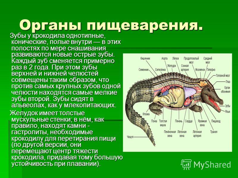 Органы пищеварения. Органы пищеварения. Зубы у крокодила однотипные, конические, полые внутри в этих полостях по мере снашивания развиваются новые острые зубы. Каждый зуб сменяется примерно раз в 2 года. При этом зубы верхней и нижней челюстей совмещ