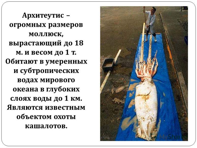 Архитеутис – огромных размеров моллюск, вырастающий до 18 м. и весом до 1 т. Обитают в умеренных и субтропических водах мирового океана в глубоких слоях воды до 1 км. Являются известным объектом охоты кашалотов.