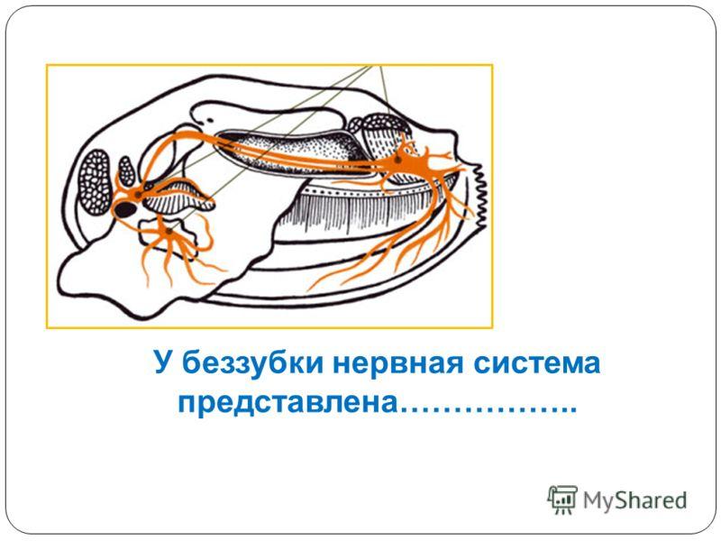 У беззубки нервная система представлена……………..