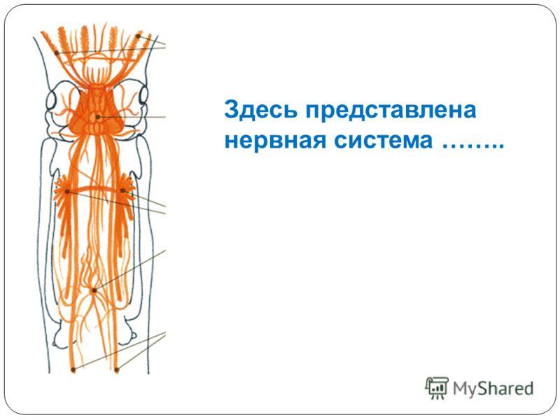 Здесь представлена нервная система ……..