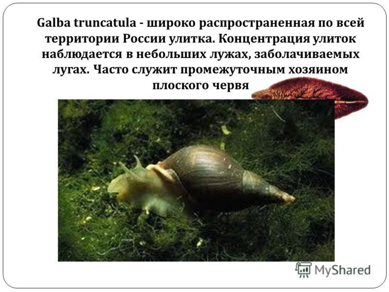 Galba truncatula - широко распространенная по всей территории России улитка. Концентрация улиток наблюдается в небольших лужах, заболачиваемых лугах. Часто служит промежуточным хозяином плоского червя