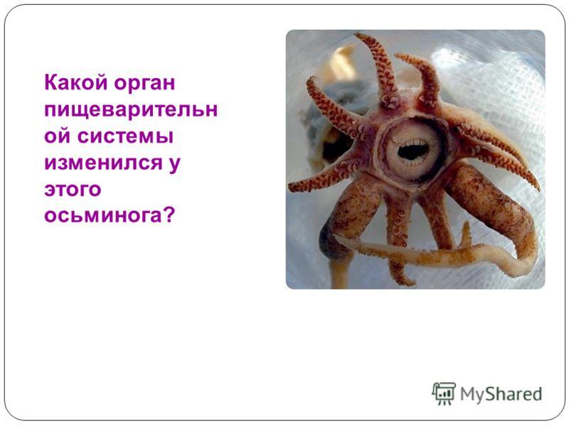 Какой орган пищеварительн ой системы изменился у этого осьминога?